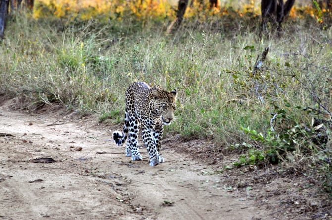 kapama south africa leopard