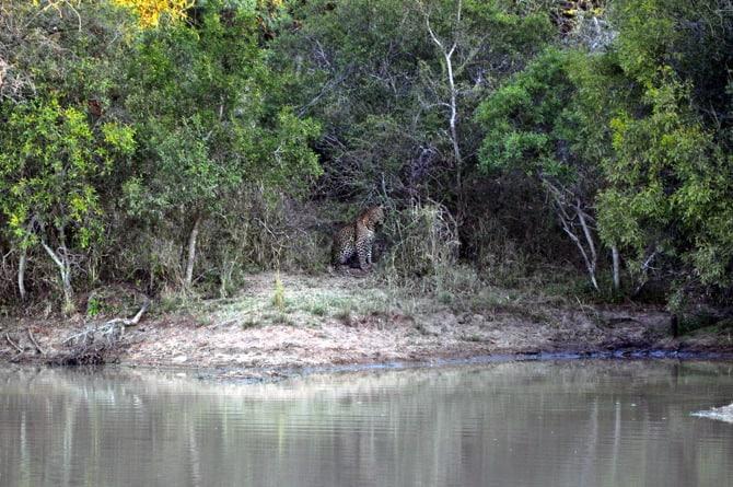 Kapama south africa Leopard Across Water