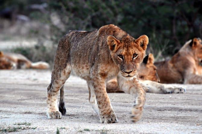 kapama south africa lioness