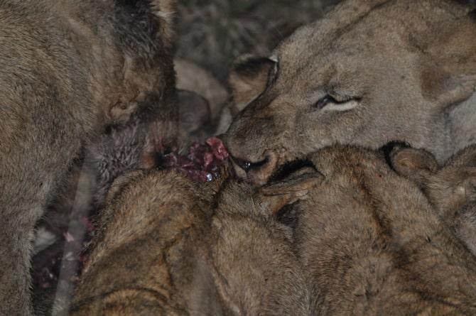 kapama south africa Lions Eating Warthog 2