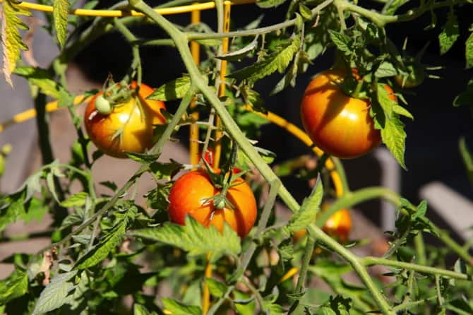 summer play date tomatoes