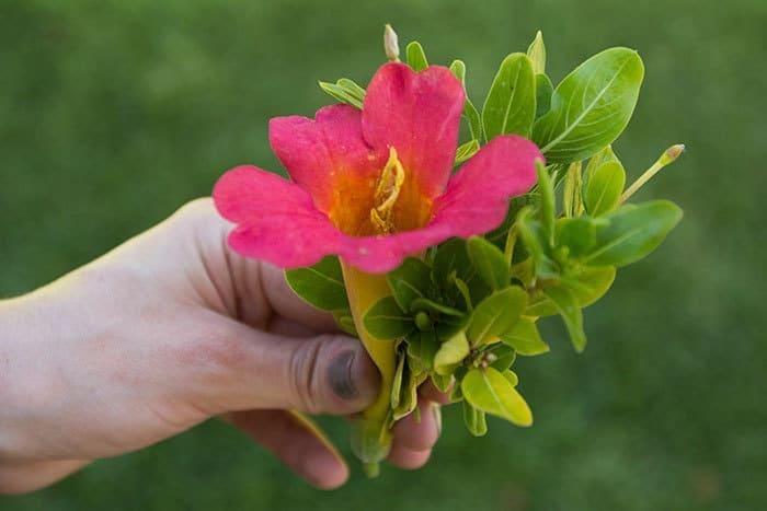 purse-flower-1