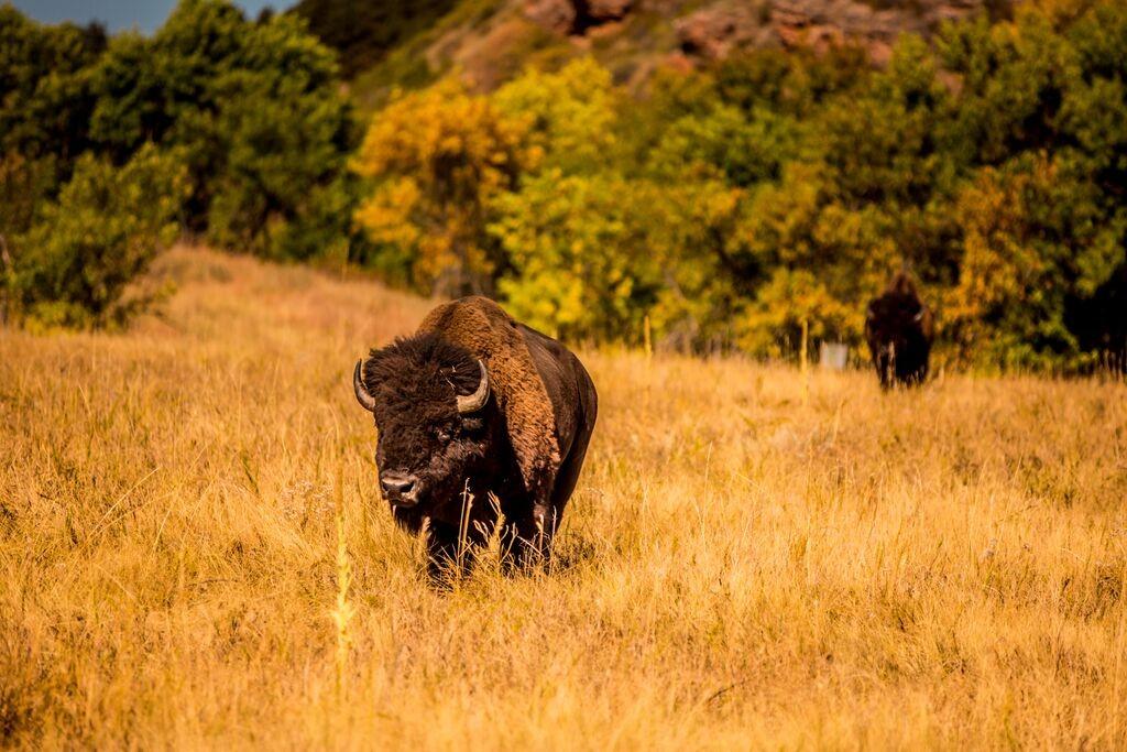 Buffalo Round Up 8