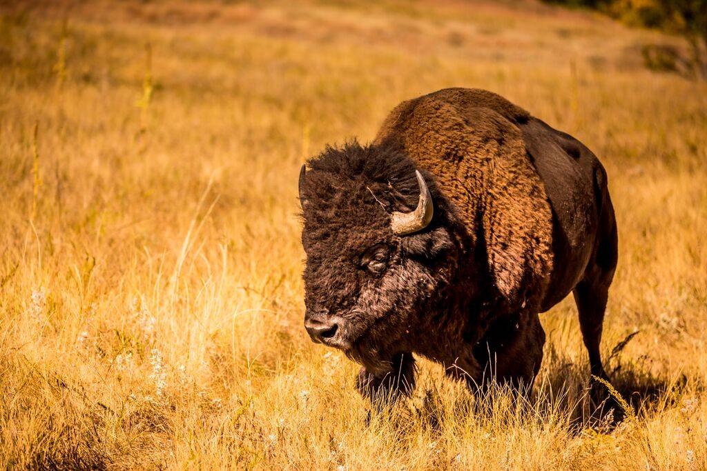 Buffalo Round Up 9