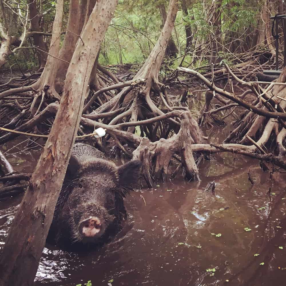 wild-pigs-copy