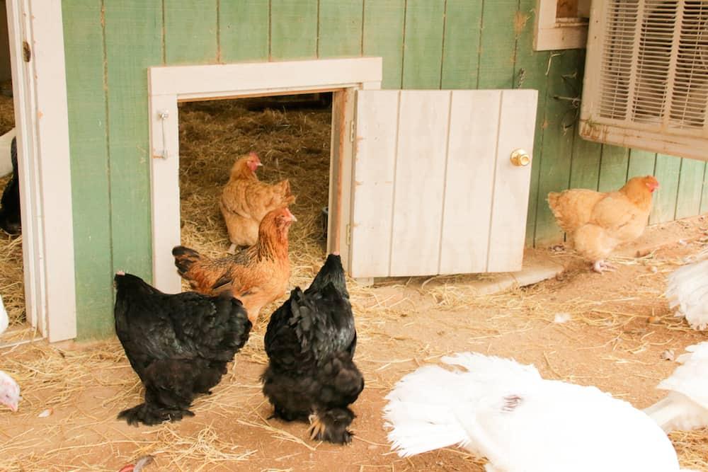 http://www.prettyprudent.com/wp-content/uploads/2016/11/Chickens-6.jpg