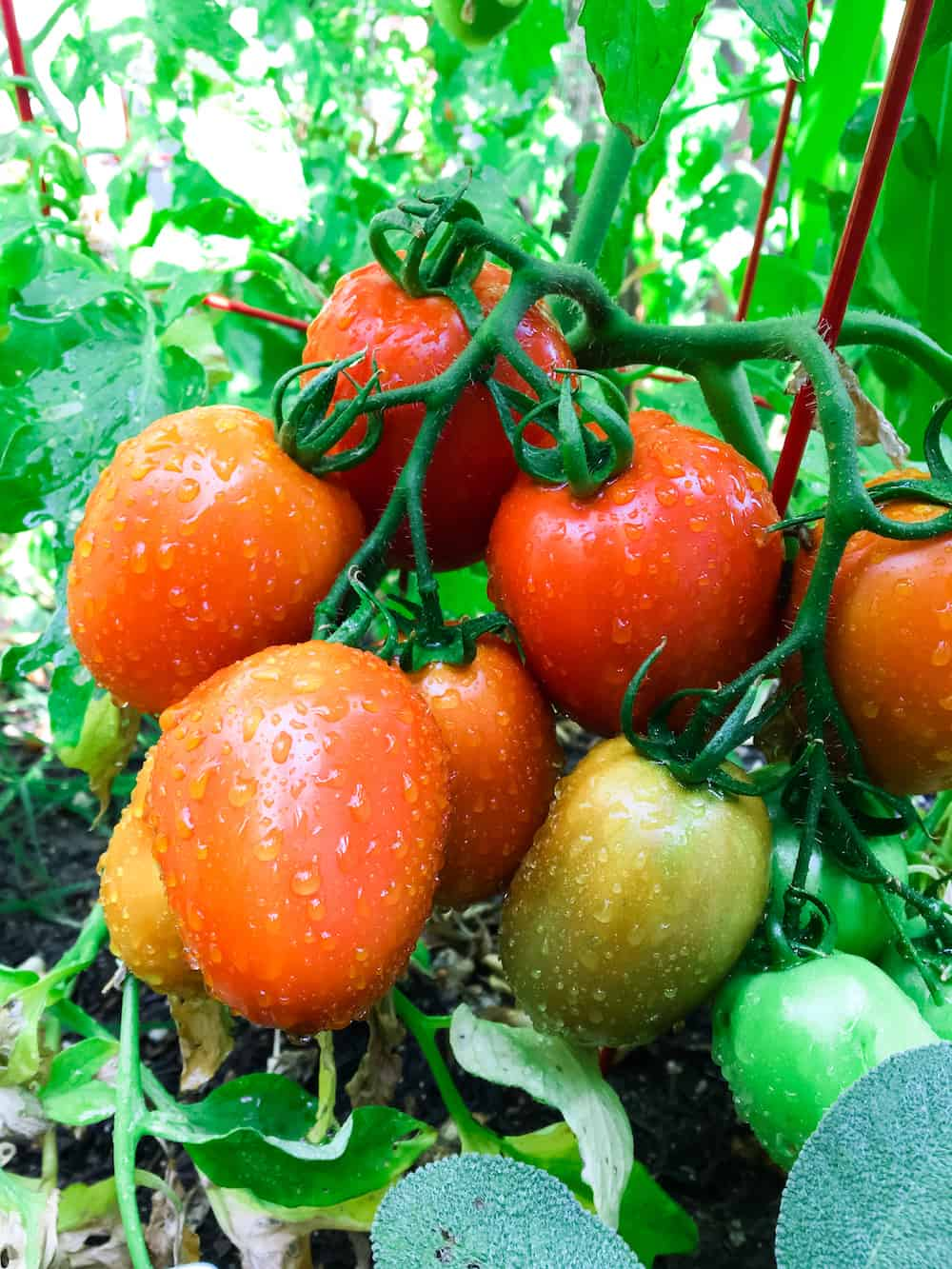 Fresh Tomatoes for Soup