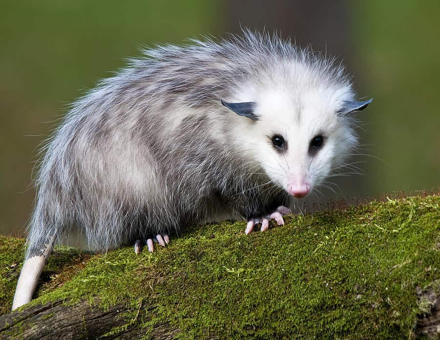 Oh! Possum! How Thou Hast Changed Me in Death and in Life