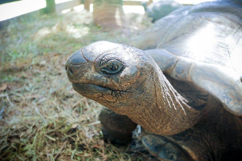 Seychelles Praslin Anse Lazio Turtle